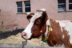 eine glückliche Kuh
